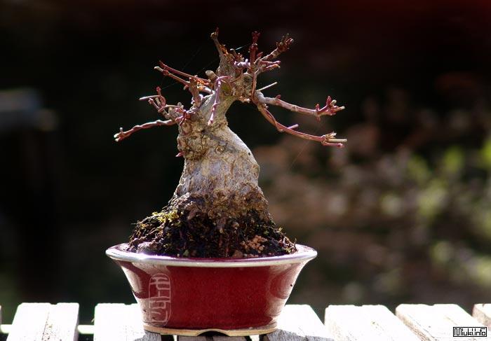 Бонсай - деревья в плошках. (История бонсай)