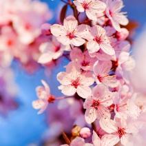 Sakura +