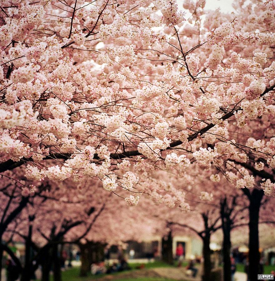 Цветение сакуры весной в Японии