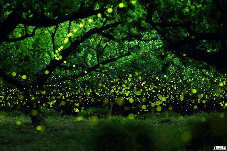 Хотаругари - любование светлячками через объектив