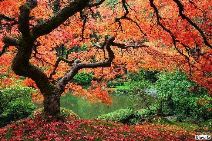 Момидзи - шестое время года, кленовые листья каэдэ
