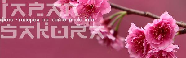 Фотографии сакуры